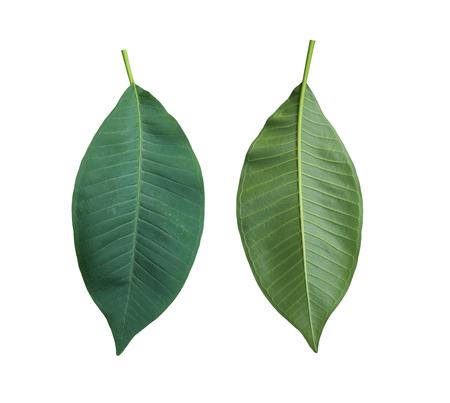 グリーン プルメリアはタイの熱帯木の葉、クリッピング パスが簡単に展開します。