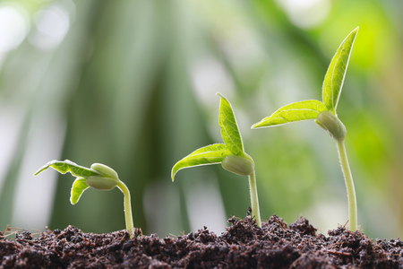 Green bean sprouts on soil in the vegetable garden and have nature bokeh background for concept of growth and agriculture.