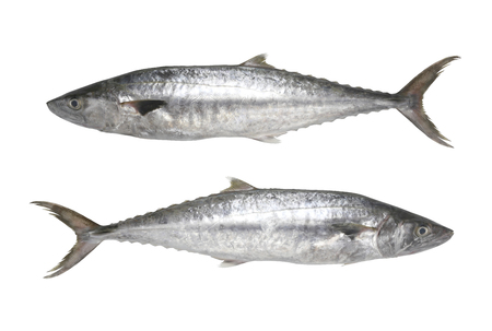 Fresh Pacific king mackerels or Scomberomorus fish isolated on white background and have clipping paths to easy deployment. Banque d'images