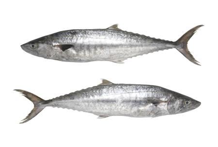 Macacos frescos do Pacífico ou peixe Scomberomorus isolados no fundo branco e têm caminhos de recorte para fácil implantação.