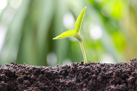 germinación: Green bean sprouts on soil in the vegetable garden and have nature bokeh background for concept of growth and agriculture.