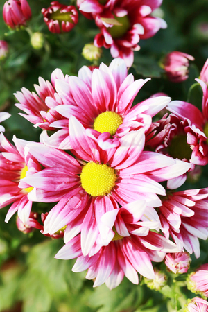 Pink mix white of Chrysanthemum flower are blooming in the flower garden.