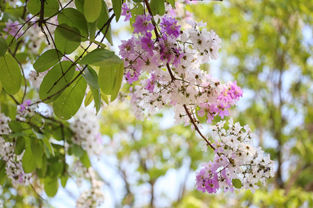 Lagerstroemia flower bloom or Tabak flowers in the garden,Tropical flowers in thailand for design nature background. Stock Photo