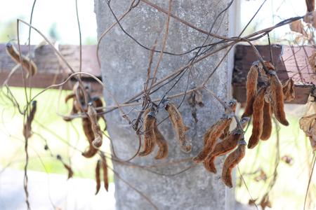 Mucuna pruriens boom in de tuin, giftige planten veroorzaken jeuk.