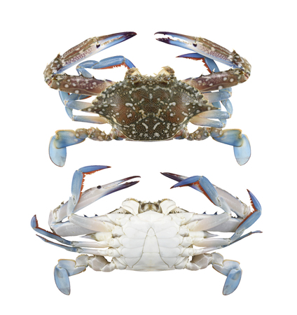 Freshness Blue swimmer crab or Blue manna crab isolated on white background and have clipping paths to easy deployment. Banco de Imagens