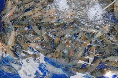 Freshwater shrimp on pond to sell in the Thai restaurant.