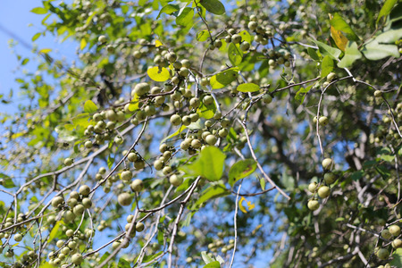 ebenaceae: Ebenaceae fruit on the tree in the garden,Natural herbs that can be used to treat many diseases. Stock Photo