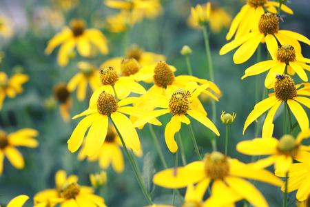tree marigold: Japanese sunflower or Nitobe chrysanthemum with bloom in the garden.