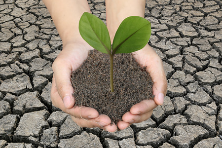 Green tree on the ground in men hands and dry earth background in concept of natural preservation. Stock Photo