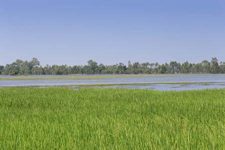Water flooding rice fields in Thailand,The area of agriculture is greatly damaged.