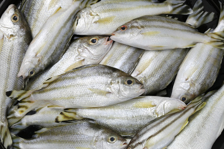 Raw Trumpeter or Grunter fish of ingredients for cooking,foods animal background. Stock Photo
