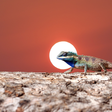 Tropical lizard Standing on the Tree trunk and have sunset sky background.