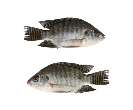 Freshness Tilapia or Cichlidae of freshwater fish isolated on white background and have clipping paths with create from pen tool function.