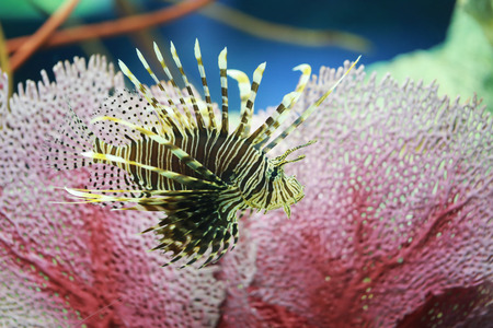 Lion fish are swimming in the coral reef,Marine fish are poisonous but are beautiful. Stock Photo