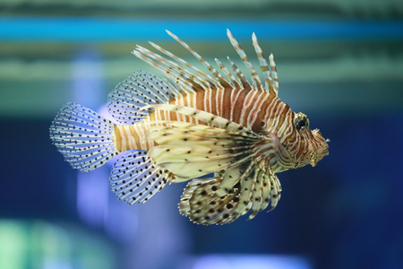 Lion fish are swimming in the coral reef,Marine fish are poisonous but are beautiful. Stock Photo - 94517747