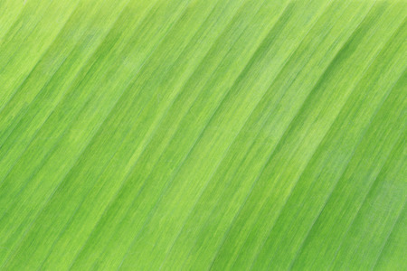 Bright green surface of banana leaves for design in your work of nature background.