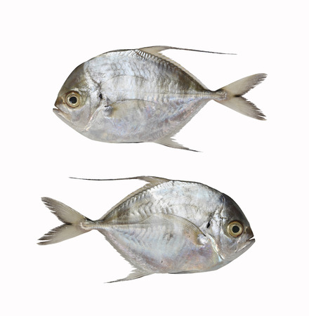 Fresh Bumpnose trevally or Longfin trevally fish isolated on white background and have clipping paths with create from pen tool function of Photoshop. Stock Photo