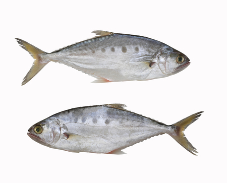 Fresh Talang queenfish fish isolated on white background and have clipping paths with create from pen tool function of Photoshop.