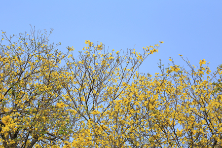 Yellow flowers bloom of yellow trumpet tree or Paraguayan trumpet tree in the tropics garden on blue sky background and have copy space.