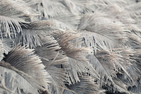 Ostrich feathers of gray color for design in your work animal backdrop. Archivio Fotografico
