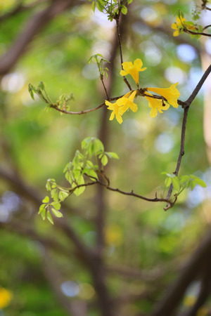 Yellow trumpet tree or tree of gold and in tropical countries called paraguayan yellow trumpet tree Blossoming in the garden of Thailand.