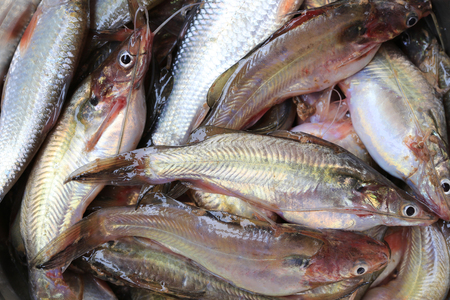 Fresh Twospot catfish background for ingredients in the cooking of native Thailand.