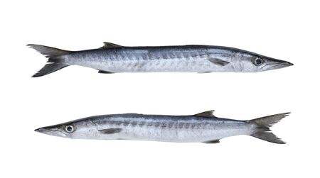 Barracuda or Seapike fish isolated on white background and have clipping paths.