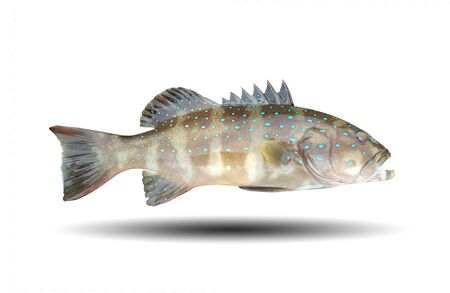 Fresh Blue leopard grouper fish isolated on white background and have clipping paths. 写真素材