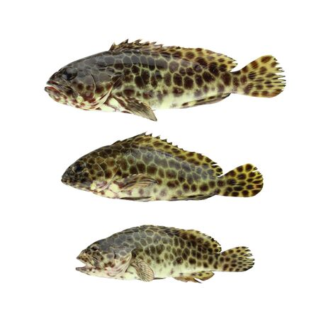 GREASY GROUPER or Coral Sea basses fish isolated on white background and have clipping paths.