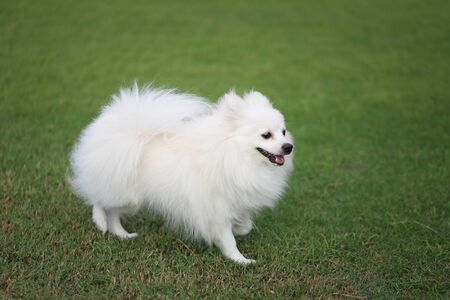 White Pomeranian dog on green lawn and have copy space. Imagens