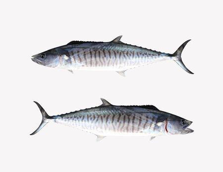 Fresh Pacific king mackerels or Scomberomorus fish isolated on white background