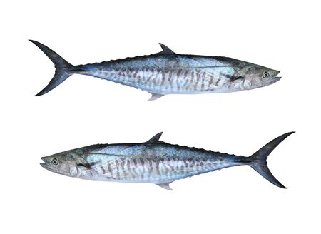 Maquereaux frais du Pacifique ou poisson Scomberomorus isolé sur fond blanc