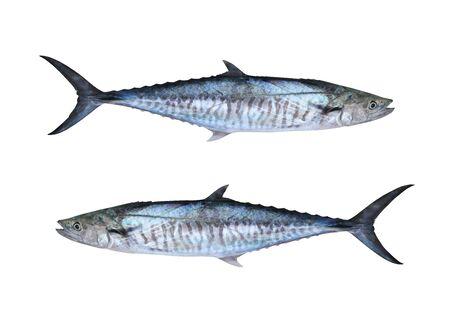 Sgombri freschi del Pacifico o pesce Scomberomorus isolato su sfondo bianco