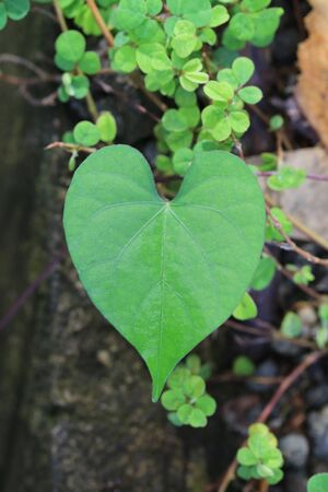 Heart shaped leaves on tree in the garden,concept of love nature.
