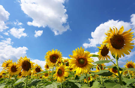 Sunflowers are blooming on a bule sky background and have copy space.