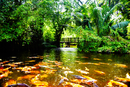 koi: Koi Pond Stock Photo