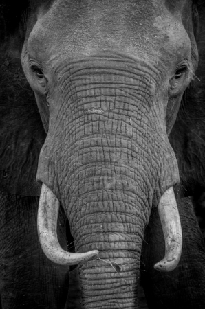 detai: Elephant portrait