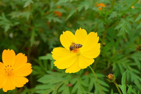 pollinate: bee at work on yellow flower