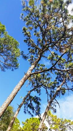 conservatory: Slash Pine Trees