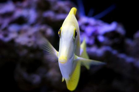 yellow tang: Yellow Tang in saltwater