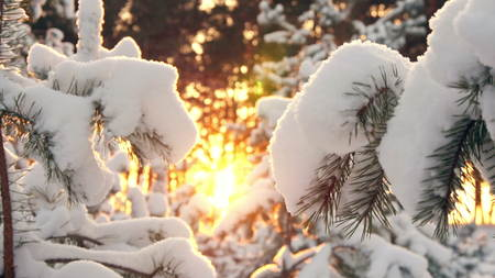 Pine branch in snow. Winter sunset in the forest.