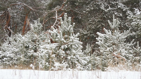 Winter Christmas forest in snow, frosty forest