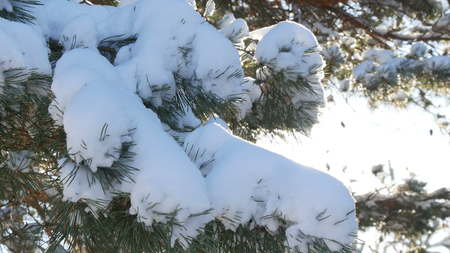 Beautiful tree covered with snow, close-up view, in the frosty winter, the Christmas forest