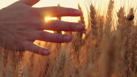De hand van een vrouw die door een gebied van tarwe bij zonsondergang overgaat, wat betreft de oren van tarwe Stockfoto - 88532850