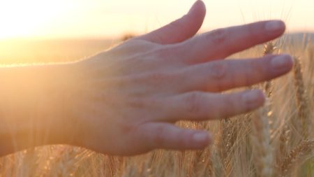The hand of a woman passing through a field of wheat at sunset, touching the ears of wheat