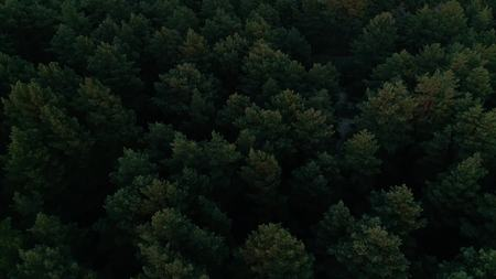 Aerial photography of a pine forest at sunset. Flight over the trees in the coniferous forest towards the sun