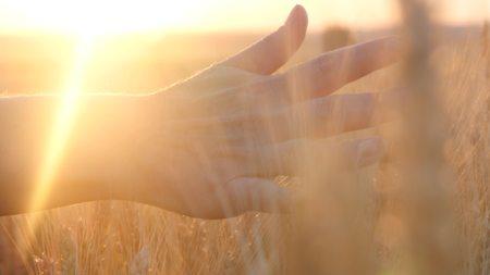 De hand van een vrouw die door een gebied van tarwe bij zonsondergang overgaat, wat betreft de oren van tarwe Stockfoto - 88931329