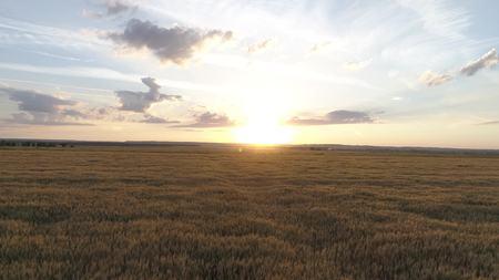 Aerial survey of wheaten golden field at sunset Stockfoto