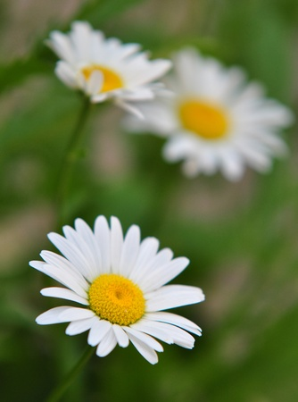 White marguerite flowers photo