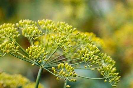 fennel seeds: Dill seeds bush closeup Stock Photo
